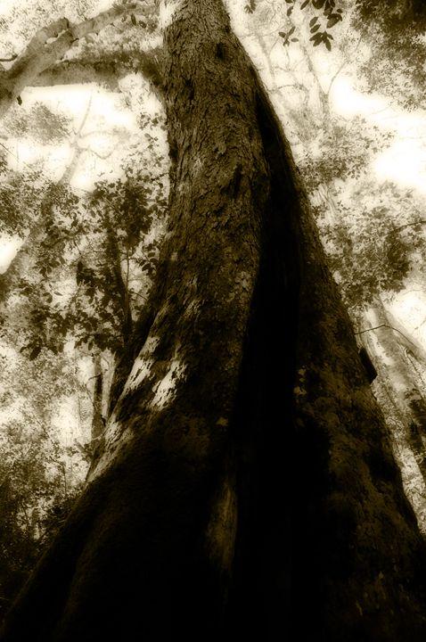 Giant Yellowwood - Sarah-Jane Photography