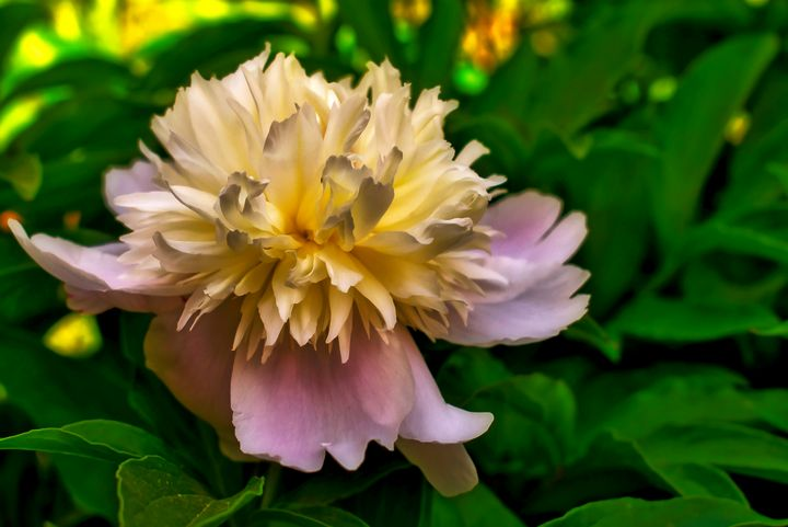 A Peony flower - Robert Brown Photography