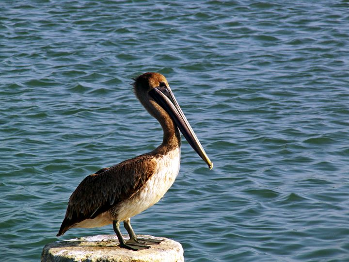 immature pelican - Robert Brown Photography