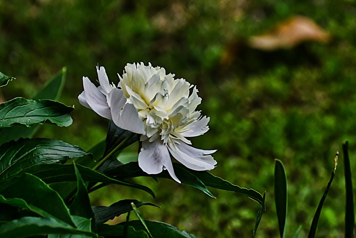 Peony - Robert Brown Photography