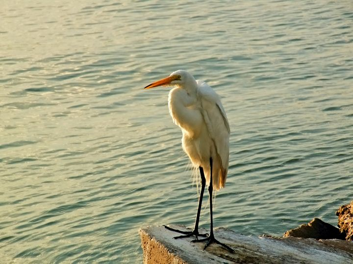 Sunlit Egret - Robert Brown Photography