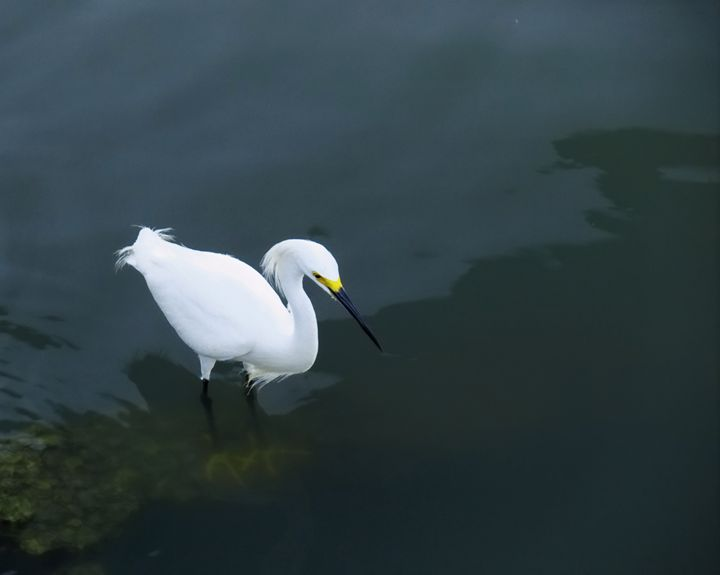 An egret in the water hunting fish - Robert Brown Photography
