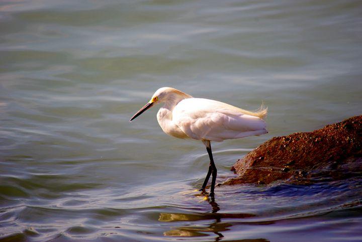 Egret fishing - Robert Brown Photography