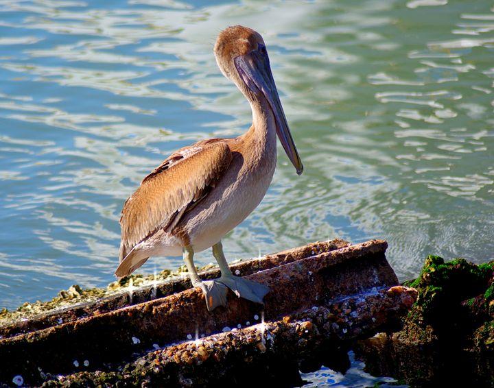 Brown Pelican - Robert Brown Photography