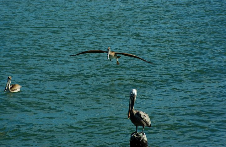 A brown pelican getting ready to lan - Robert Brown Photography