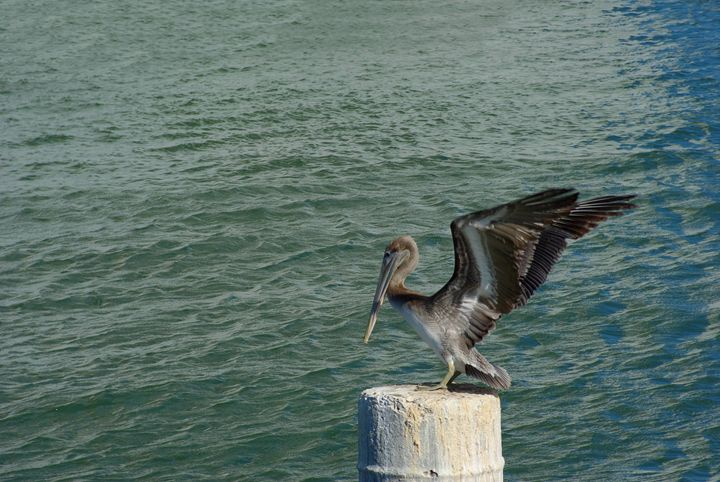Brown Pelican landing on a pole. - Robert Brown Photography