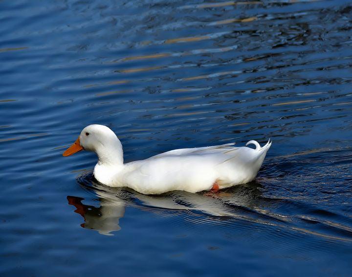Call Duck - Robert Brown Photography