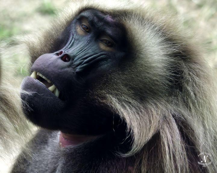 Gelada Monkey - Larry Nader Photography & Art