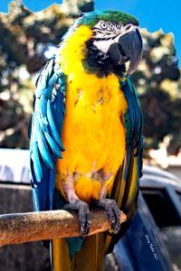 Quick Draw Macaw