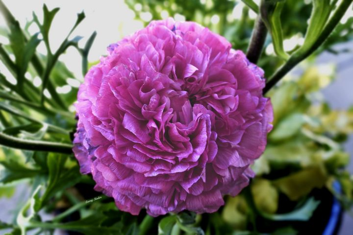 Purple Persian Buttercup - Larry Nader Photography & Art