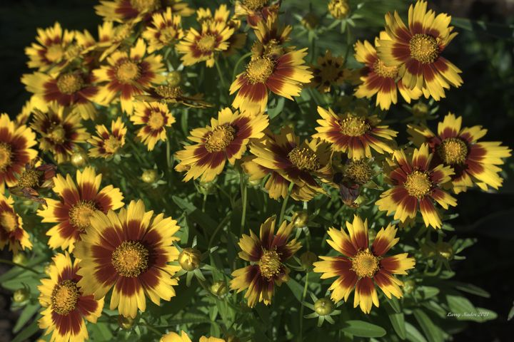 Gold and Bronze Coreopsis Plant - Larry Nader Photography & Art