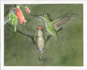 Firecrown hummingbirds