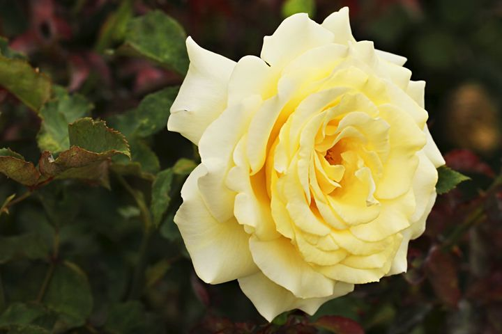 Lemon Rose - Maxwell Jordan