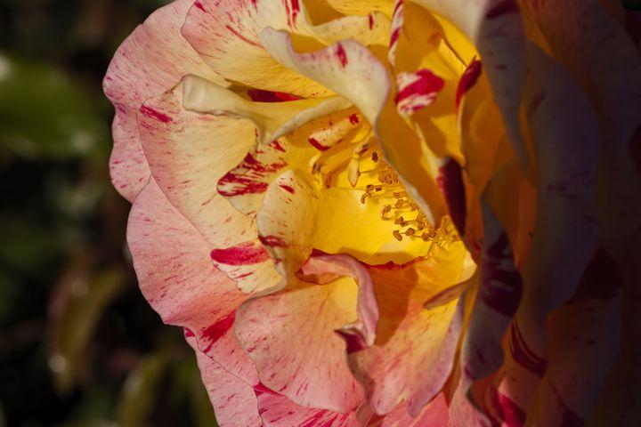 Pink and Yellow Rose - Maxwell Jordan