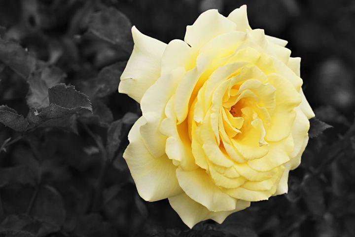 Lemon Yellow Rose with Black and Whi - Maxwell Jordan