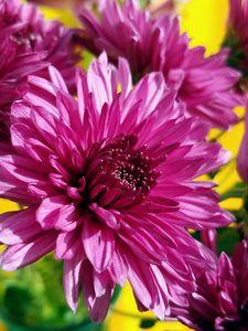 Magenta Chrysanthemums - Susan E. Gordon Art