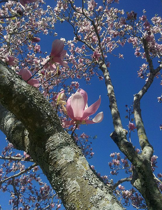 Japanese Magnolia Tree - Susan E. Gordon Art