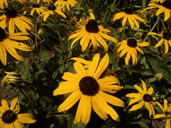 Sunflowers - Pinky