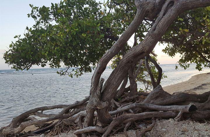 Shore Mangrove - Sotomayor