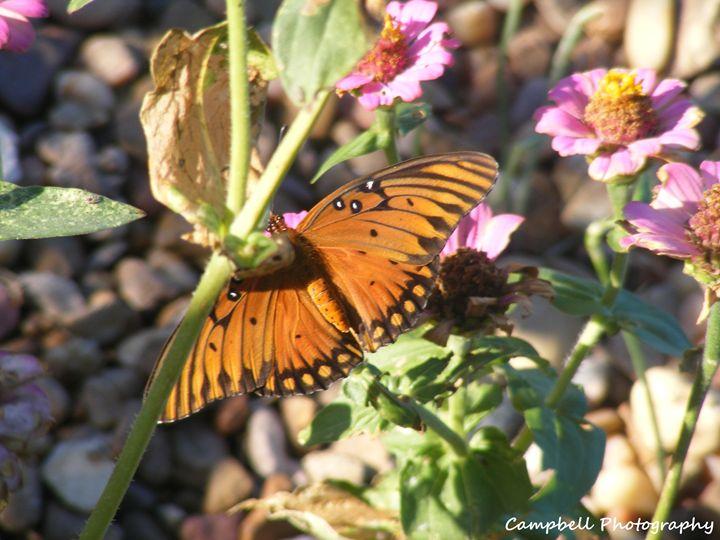 Gulf Fritillary Butterfly - Campbell Photography
