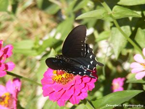 Pipevine (Blue) Swallowtail