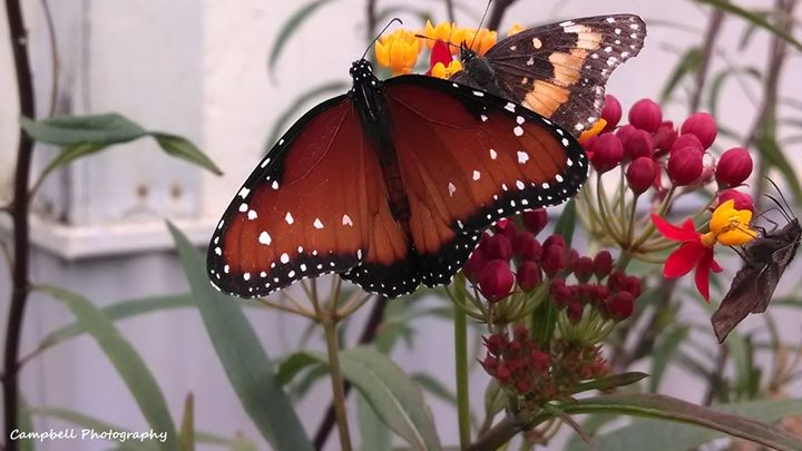Queen Butterfly - Campbell Photography