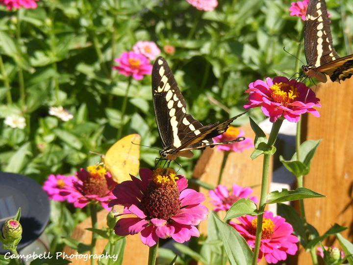 Giant Swallowtail Butterflies - Campbell Photography