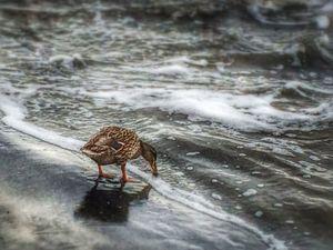 Duck Days