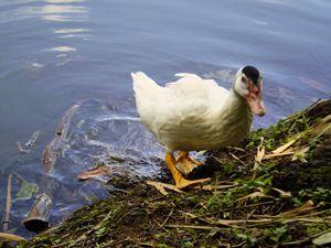 A brazilian savage duck specimen