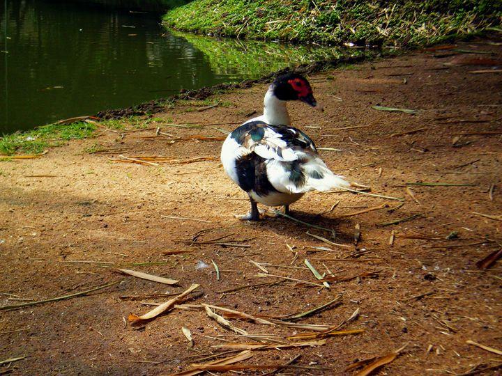 A brazilian savage duck specimen - Hermes Cavalcante