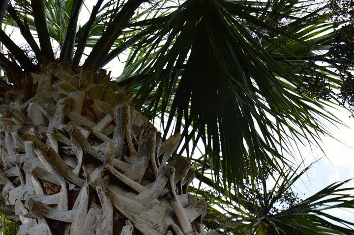 Palms. - Noble Chevalier