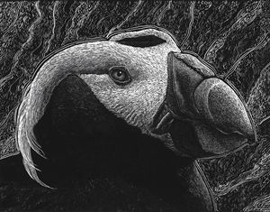Tufted Puffin - Nathan Perry Fine Art
