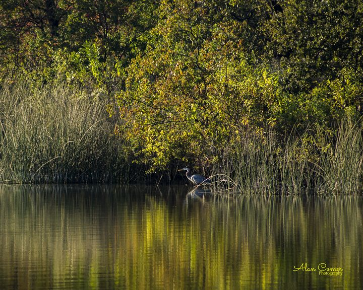 Great Blue Heron - Alan Comer Photography