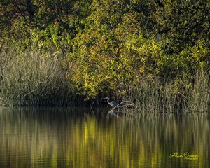 Great Blue Heron - Alan Comer Photography