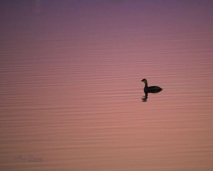 Lone Grebe - Alan Comer Photography