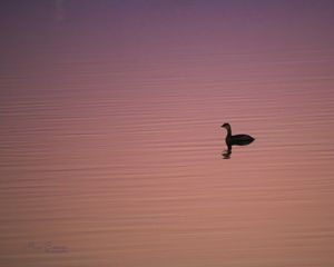 Lone Grebe - Alan Comer Photography