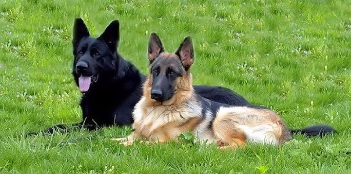 The German Shepherd - Sparky & Jo's Meanderings
