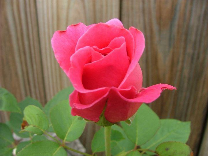 Rose - Digital Perfections