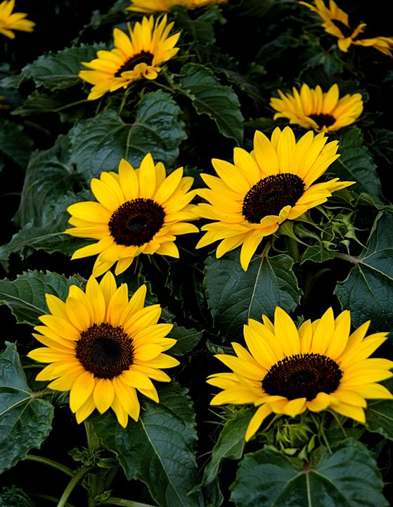 Colorful Sunflowers - Richard W. Jenkins Gallery