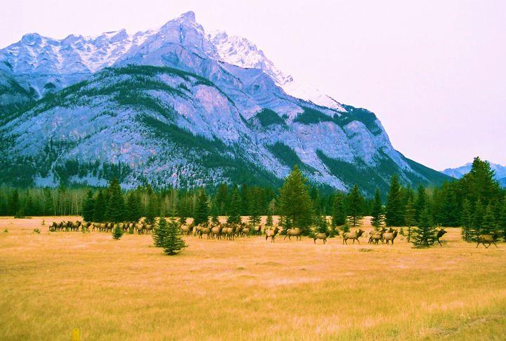 Canada Elk - Richard W. Jenkins Gallery