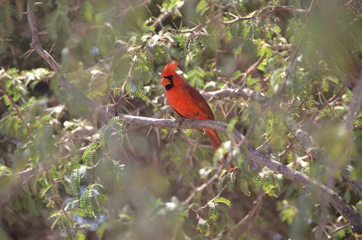 Desert Cardinal - Richard W. Jenkins Gallery