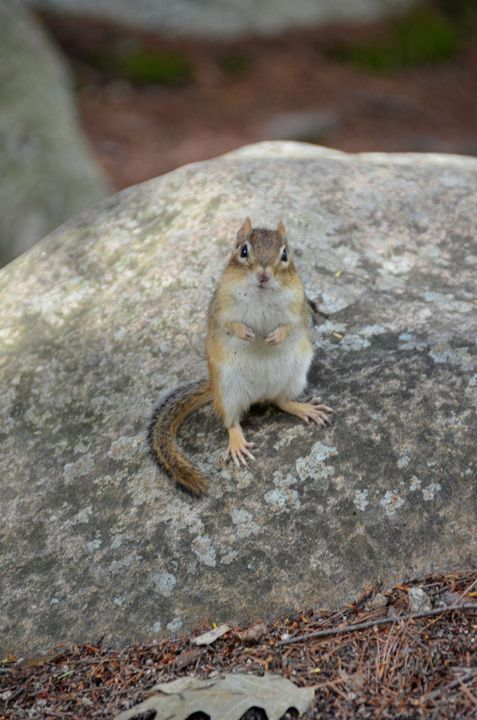 Curious Chipmunk - Richard W. Jenkins Gallery