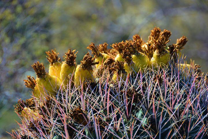 Barrel  Cactus - Richard W. Jenkins Gallery