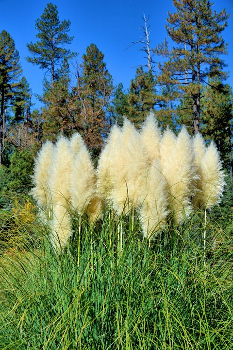 Pompus Grass - Richard W. Jenkins Gallery