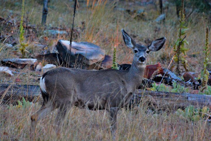 Whitetail Deer - Richard W. Jenkins Gallery