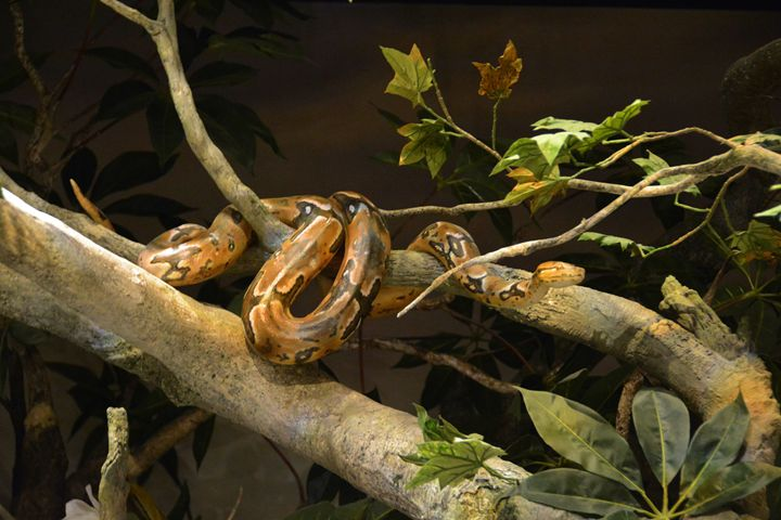 Large Snake in a TreeT - Richard W. Jenkins Gallery