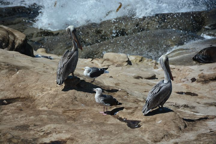 Pelicans and Seagulls - Richard W. Jenkins Gallery