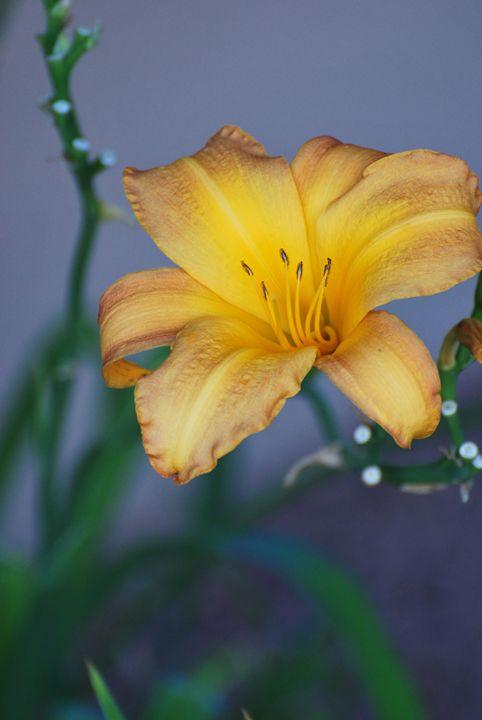 Golden Lily - Richard W. Jenkins Gallery