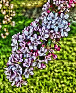 Digital Art Lilacs - Richard W. Jenkins Gallery