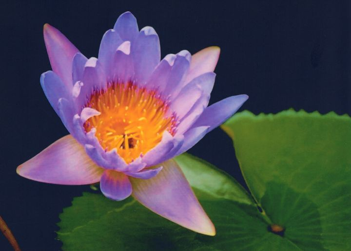 Water Lily - Carlos' Art Works
